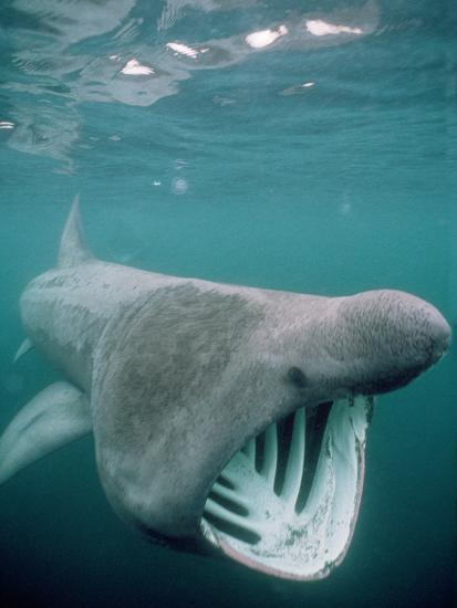 Basking Shark Mouth Open--Photographic Print