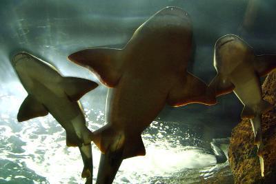 Basking Sharks in the Aquarium, Loro Parque, Tenerife, Canary Islands, 2007-Peter Thompson-Photographic Print