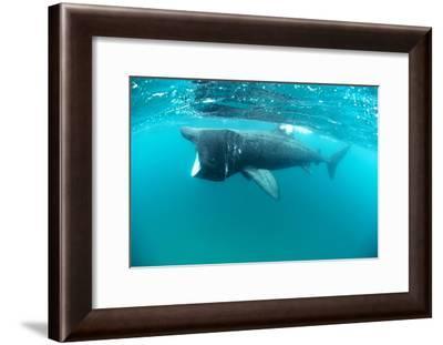 Basking Sharks-Louise Murray-Framed Photographic Print