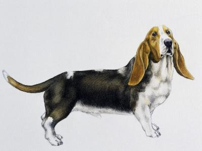 Basset Hound (Canis Lupus), Canidae, Drawing--Giclee Print