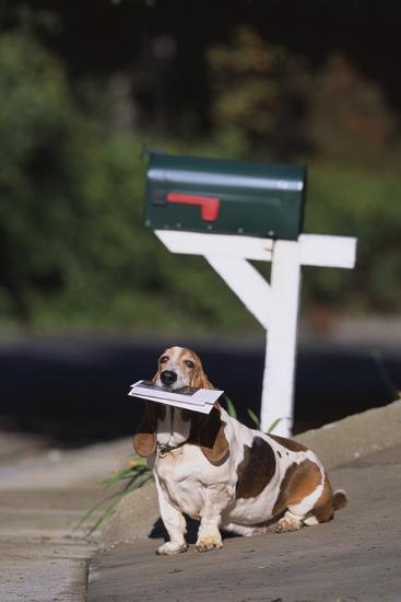 Basset Hound Fetching the Mail-DLILLC-Photographic Print