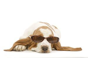 Basset Hound in Studio Wearing Sunglasses