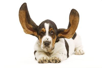 Basset Hound in Studio with Ears Up--Photographic Print