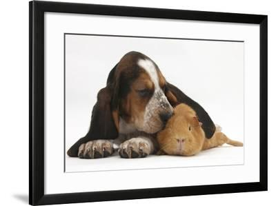 Basset Hound Puppy, Betty, 9 Weeks, with Ear over a Red Guinea Pig-Mark Taylor-Framed Photographic Print