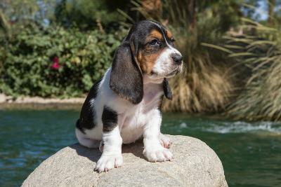 Basset Hound Puppy on a Rock-Zandria Muench Beraldo-Photographic Print