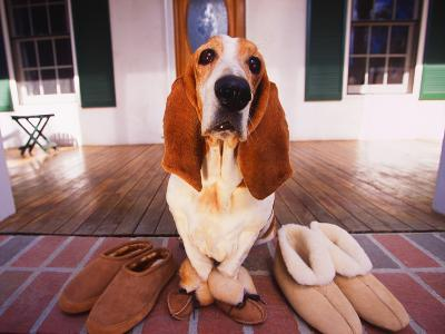 Basset Hound Waiting on Porch in Slippers-DLILLC-Photographic Print