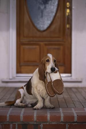 https://imgc.artprintimages.com/img/print/basset-hound-waiting-with-owner-s-slippers_u-l-pzr9vb0.jpg?p=0