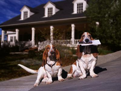 Basset Hounds Carrying Mail in Mouth-DLILLC-Photographic Print
