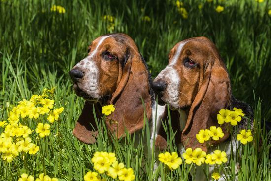 Basset Hounds in Spring Grasses-Zandria Muench Beraldo-Photographic Print