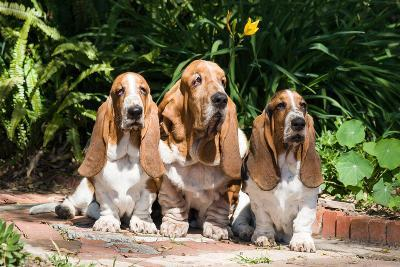 Basset Hounds Sitting on Garden Pathway-Zandria Muench Beraldo-Photographic Print