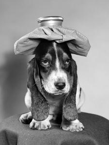 Bassett Hound Dog with Ice Pack on Head