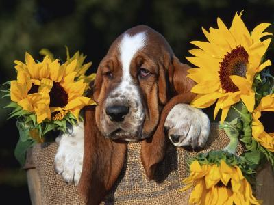 Bassett Hound Pup with Sunflowers-Lynn M^ Stone-Photographic Print
