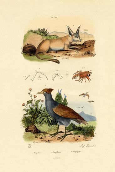 Bat-Eared Fox, 1833-39--Giclee Print
