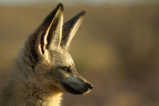 Bat-Eared Fox (Otocyon Megalotis) Portrait, Namib-Naukluft National Park,  Namib Desert, Namibia Photographic Print by Solvin Zankl | Art com