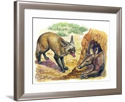 Bat-Eared Fox (Otocyon Megalotis) Trying to Get into Termite Mound Which Was Discovered by Aardvark--Framed Giclee Print