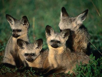Bat-Eared Fox Pups (Octocyon Megalotis) in Their Den, Serengeti National Park, Tanzania-Ariadne Van Zandbergen-Photographic Print