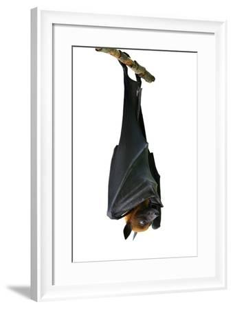 Bat, Hanging Lyle's Flying Fox Isolated on White Background, Pteropus Lylei-BOONCHUAY PROMJIAM-Framed Photographic Print