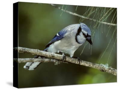 A Blue Jay, Cyanocitta Cristata, Perched on a Pine Tree Branch