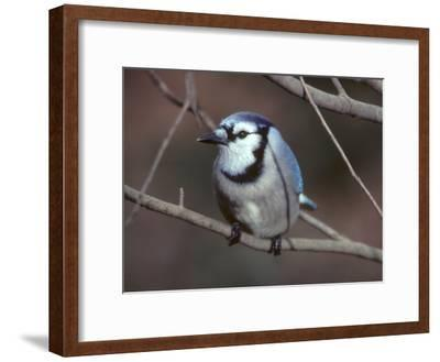 A Blue Jay, Cyanocitta Cristata, Perched on a Tree Branch