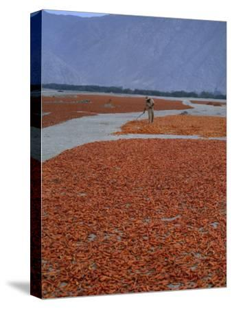 A Farmer Turns His Crop of Peppers to Ensure Even Drying and Curing