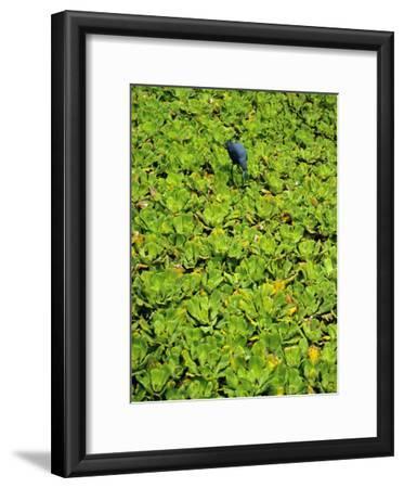 A Little Blue Heron, Egretta Caerulea, Hunts Among Water Lettuce