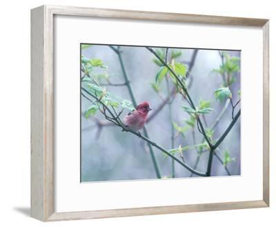 A Purple Finch, Carpodacus Purpureus, Perched in a Tree in Heavy Fog