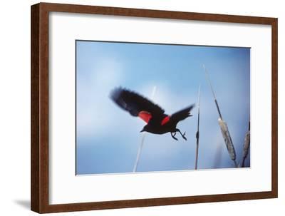 A Red-winged Blackbird, Agelaius Phoeniceus, in Cattails