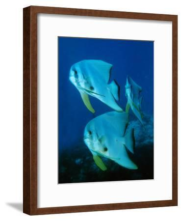A School of Longfin Spadefish, Platax Teira