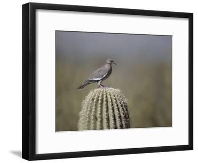 A White-Winged Dove on a Saguaro Cactus
