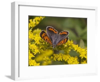 An American Copper Butterfly, Lycaena Phlaeas, on Goldenrod