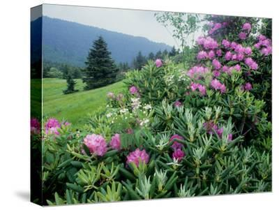 Catawba Rhododendron Shrubs in Bloom