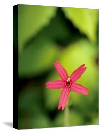 Close Up of a Fire Pink Flower, Silene Virginica, in Bloom