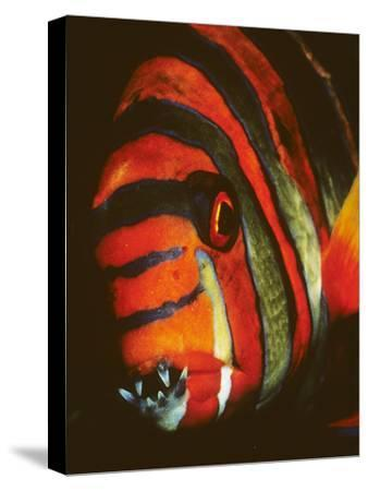 Close Up Portrait of a Harlequin Tuskfish, Choerodon Fasciatus
