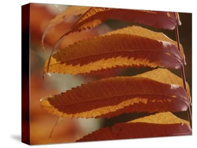 Close View of Sumac Leaves, Rhus Species, in Autumn Colors