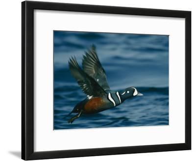 Harlequin Duck in Flight