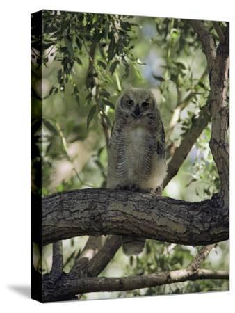Juvenile Great Horned Owl on a Branch, des Lacs National Wildlife Refuge, North Dakota