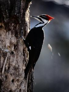 Pileated Woodpecker by Bates Littlehales