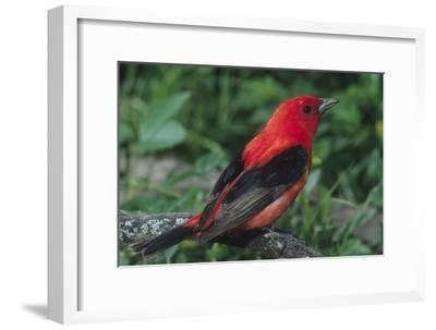 Portrait of a Male Scarlet Tanager, Piranga Olivacea