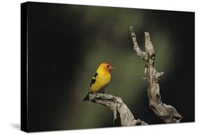 Western Tanager Perches on a Gnarled Dead Branch
