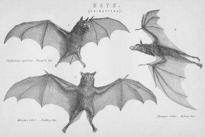 Bats. (Chiroptera), 1885--Giclee Print