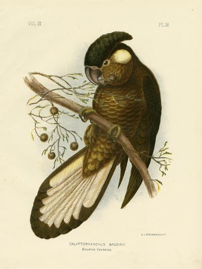 Baudin's Black Cockatoo, 1891-Gracius Broinowski-Giclee Print