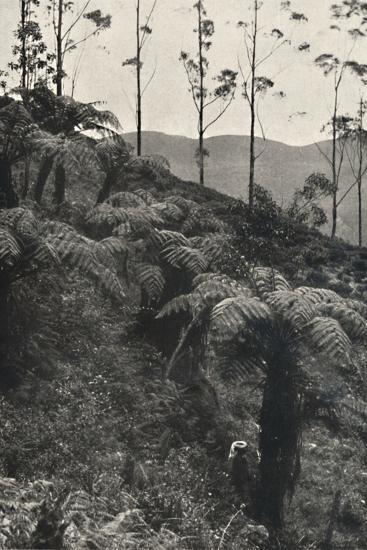 'Baumfarne (Alsophila crinita u. a.)', 1926-Unknown-Photographic Print