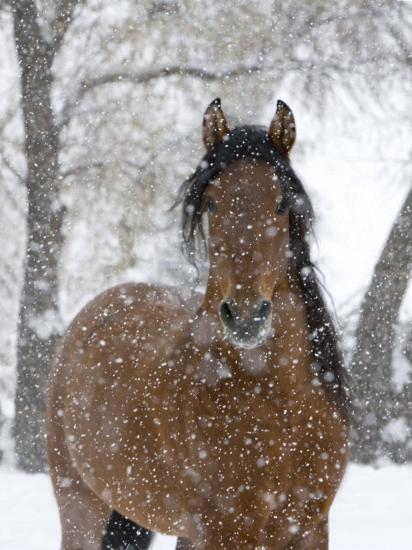 Bay Andalusian Stallion Portrait with Falling Snow, Longmont, Colorado, USA-Carol Walker-Photographic Print