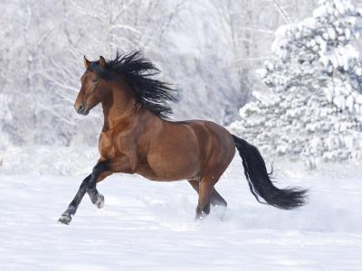 Bay Andalusian Stallion Running in the Snow, Berthoud, Colorado, USA-Carol Walker-Photographic Print