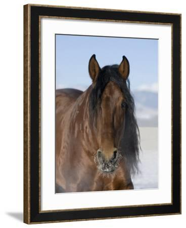 Bay Andalusian Stallion, with Hairs on Nose Frozen, Longmont, Colorado, USA-Carol Walker-Framed Photographic Print