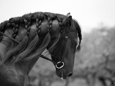 Bay Andalusian Stallion, with Plaited Mane and Bridle, Austin Texas, USA-Carol Walker-Photographic Print