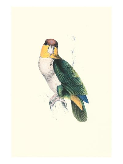 Bay Headed Parrot - Pionites Leucogasper-Edward Lear-Art Print