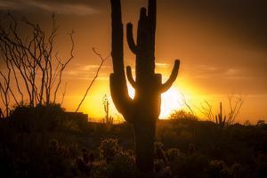 Arizona Landscape, Sunset Saguaro in Silhouette over Desert. by BCFC