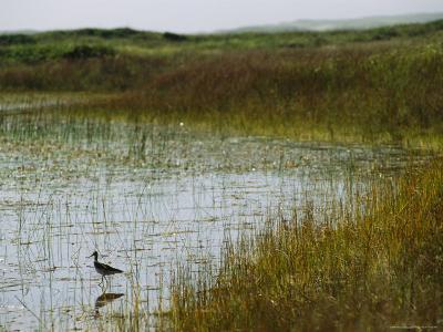 Beach Grass and an American Avocet on the Shore of Sable Island--Photographic Print