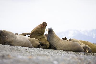 Beach, Walruses, Odobenus Rosmarus-Frank Lukasseck-Photographic Print